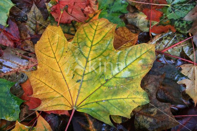 maple (Acer spec.)