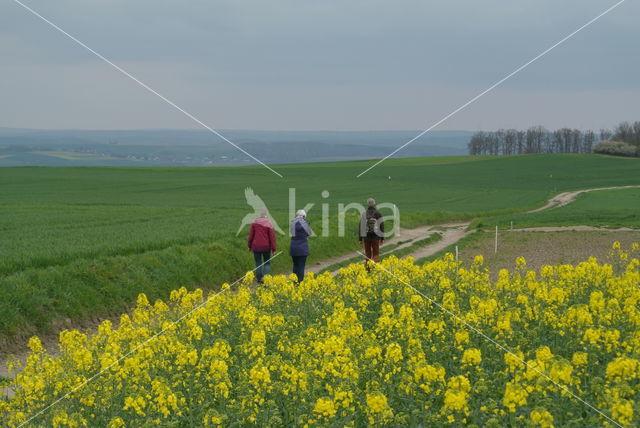 Koolzaad (Brassica napus)