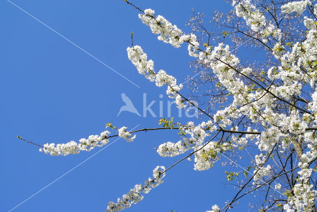 Sleedoorn (Prunus spinosa)