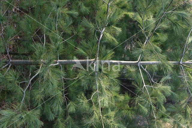 Weymouthden (Pinus strobus)