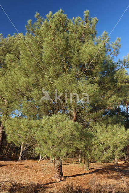 Zeeden (Pinus pinaster)