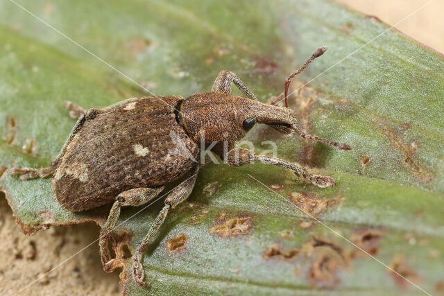 Graptus triguttatus
