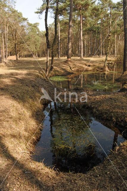 Pijpestrootje (Molinia caerulea)
