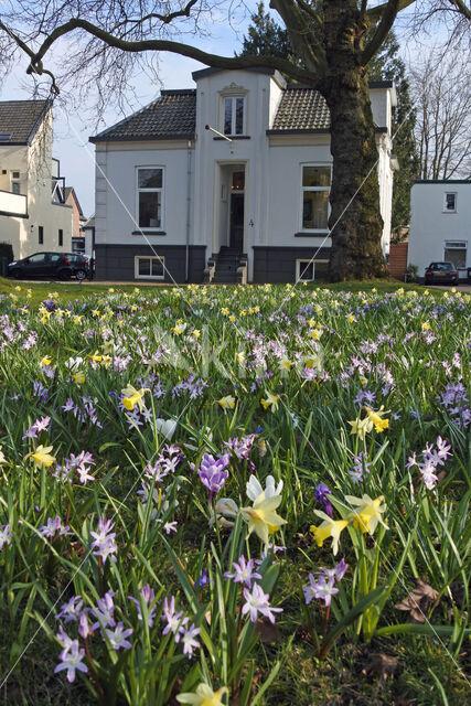 daffodil (Narcissus spec.)