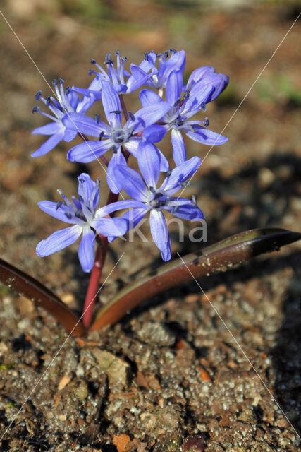 Oosterse sterhyacint (Scilla siberica)