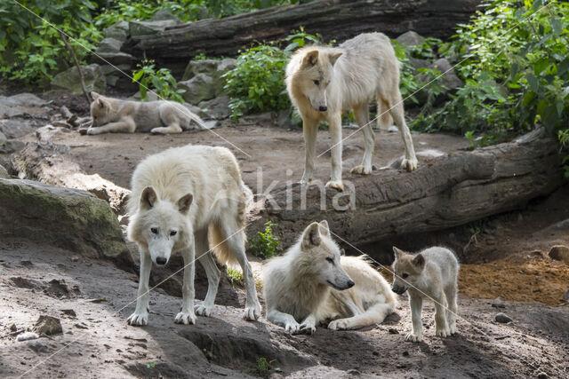 Hudson Bay wolf (Canis lupus hudsonicus)