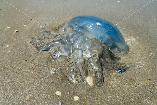 Zeepaddestoel (Rhizostoma pulmo)