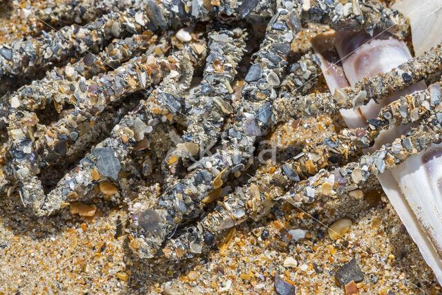 Schelpkokerworm (Lanice conchilega)