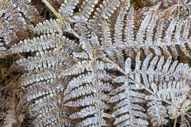 Adelaarsvaren (Pteridium aquilinum)