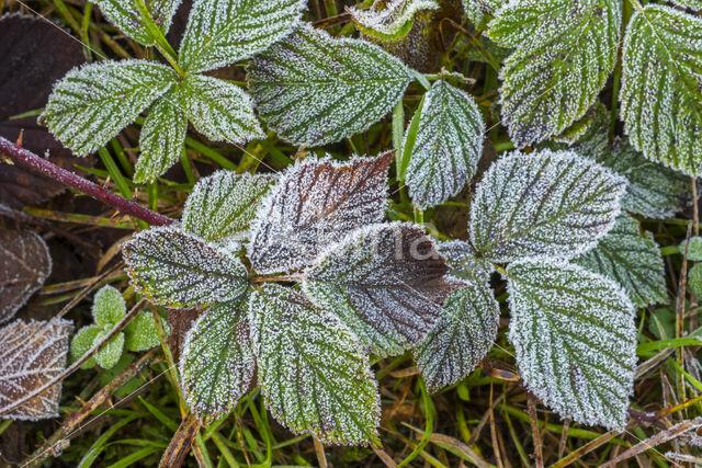 Gewone braam (Rubus fruticosus)