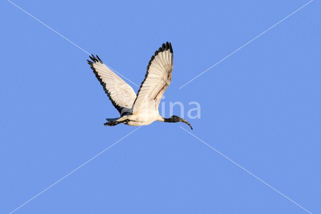 Heilige Ibis (Threskiornis aethiopicus)