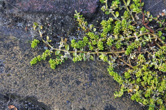 Kaal breukkruid (Herniaria glabra)