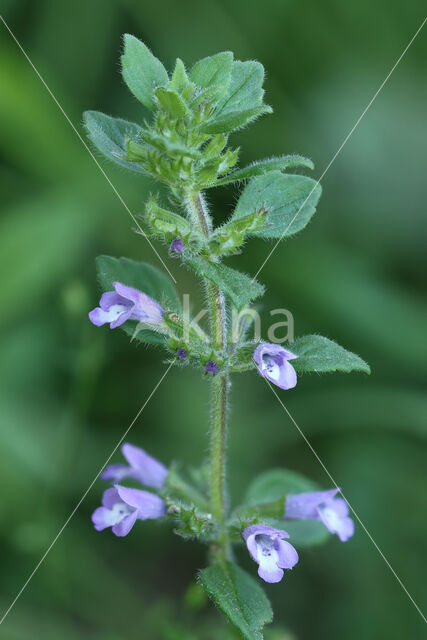 Kleine steentijm (Clinopodium acinos)