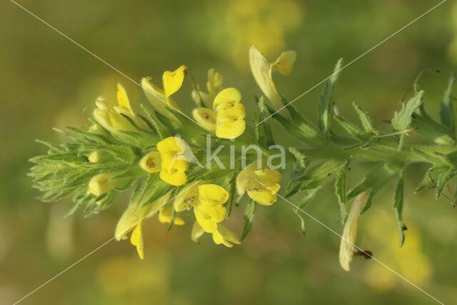 Kleverige ogentroost (Parentucellia viscosa)