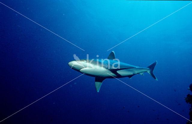 Zilverpunthaai (Carcharhinus albimarginatus)