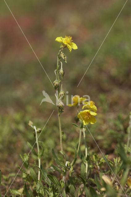 Geel zonneroosje (Helianthemum nummularium)