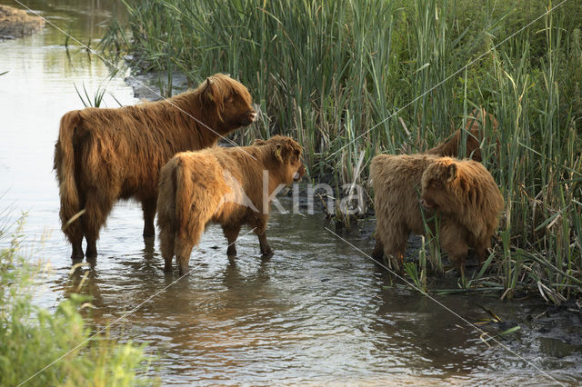 Highland Cow (Bos domesticus)