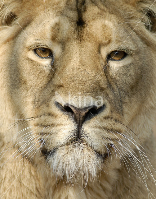 Aziatische leeuw (Panthera leo persica)