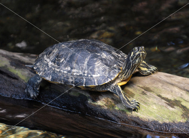 Geelbuikschildpad (Trachemys scripta scripta)