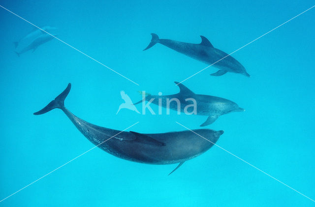 Gevlekte dolfijn (Stenella frontalis )