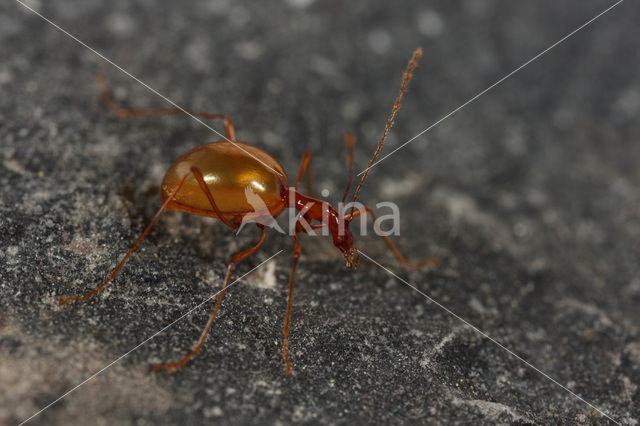 Blind cave beetle (Leptodirus hochenwartii)