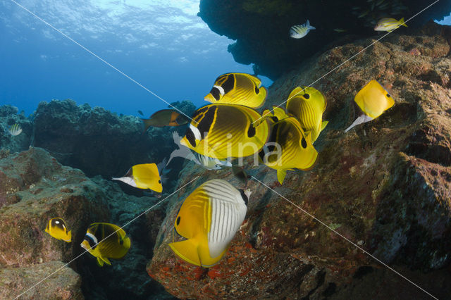 Maansikkel koraalvlinder (Chaetodon lunula)