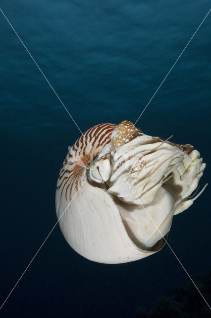 Nautilus schelp (Nautilus belauensis)