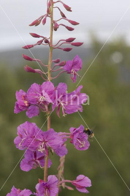 Wilgeroosje (Chamerion angustifolium)