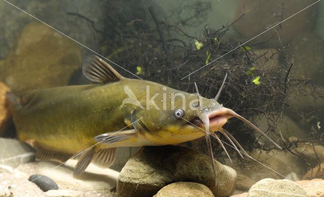 Bruine dwergmeerval (Ameiurus nebulosus)