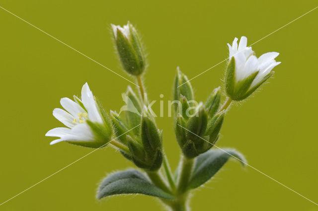 Gewone hoornbloem (Cerastium fontanum ssp. vulgare)