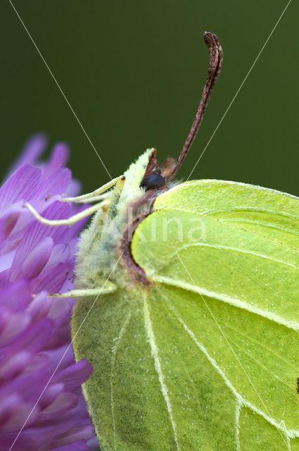 Citroenvlinder (Gonepteryx rhamni)