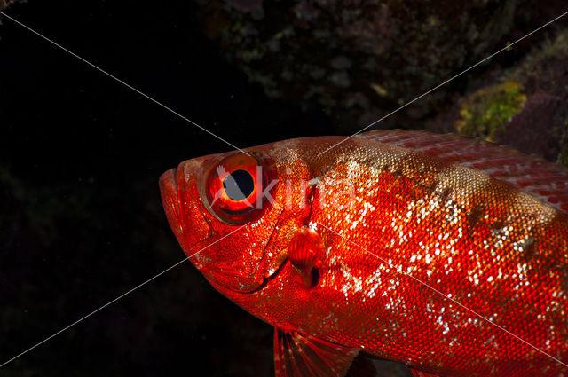 Rode soldatenvis (Myripristis murdjan)