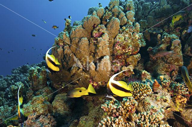 Rode zee wimpelvis (Heniochus intermedius)