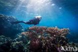 Acropora koraal (Acropora spec.)