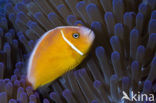 Halsband anemoonvis (Amphiprion perideraion)
