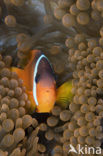 Rode Anemoonvis (Amphiprion frenatus)
