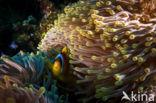 Rode zee anemoonvis (Amphiprion bicinctus)
