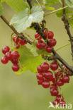 Aalbes (Ribes rubrum)