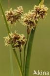 Galigaan (Cladium mariscus)