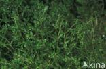 Groot bronkruid (Montia fontana subsp. fontana)