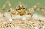 Tweevlek (Epitheca bimaculata)