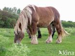 Zeeuws paard (Equus spp)