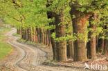 Amerikaanse eik (Quercus rubra)