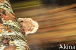 Berkenzwam (Piptoporus betulinus)