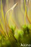 Gewoon sterrenmos (Mnium hornum)