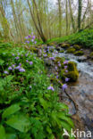 Donkersporig + Bleeksporig bosviooltje (Viola reichenbachiana + Viola riviniana)