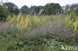 Gewone ossentong (Anchusa officinalis)