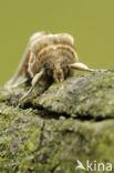 Vuursteenvlinder (Habrosyne pyritoides)