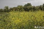 Zwarte mosterd (Brassica nigra)