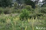 Zwarte toorts (Verbascum nigrum)